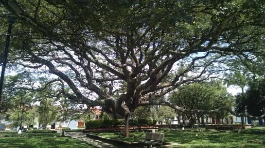 Plaza de Charalá - Ärbol Samán