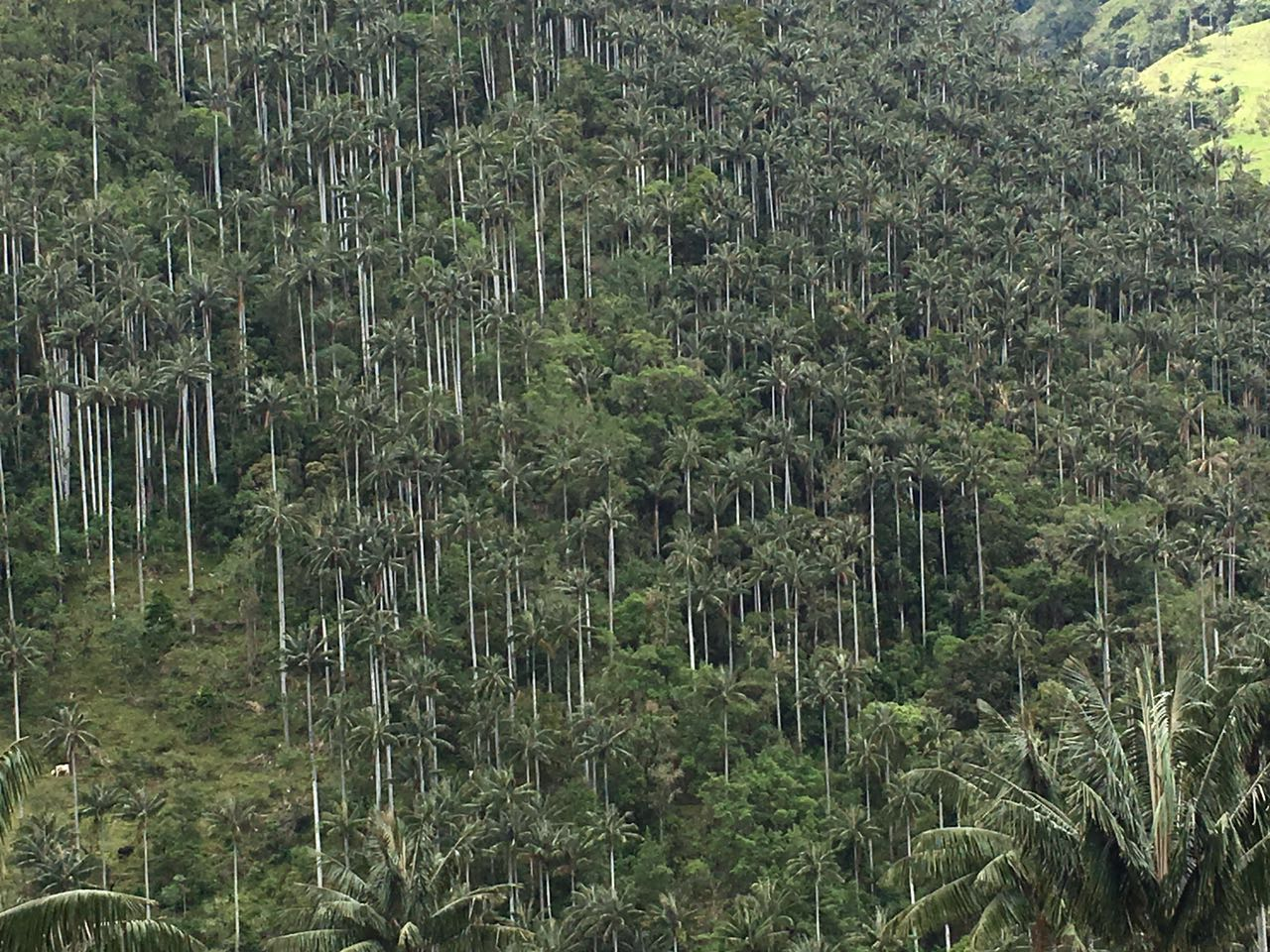 Bosques de Palma de Cera
